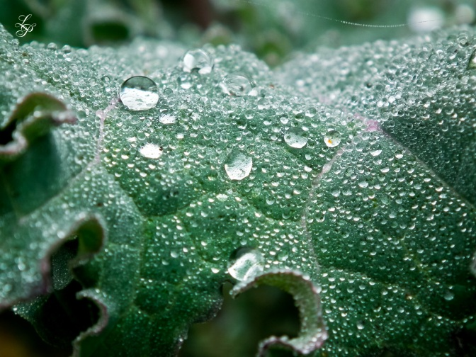 Fog droplets on kale