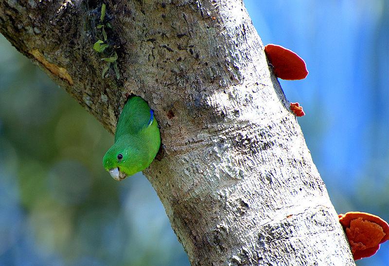 Un micut papagal