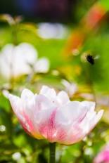 Pink-tinged tulip