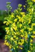 Flori de kale