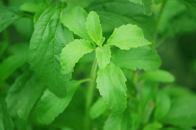stevia_plant