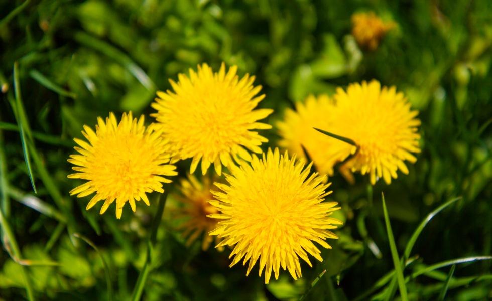 Flori de papadii