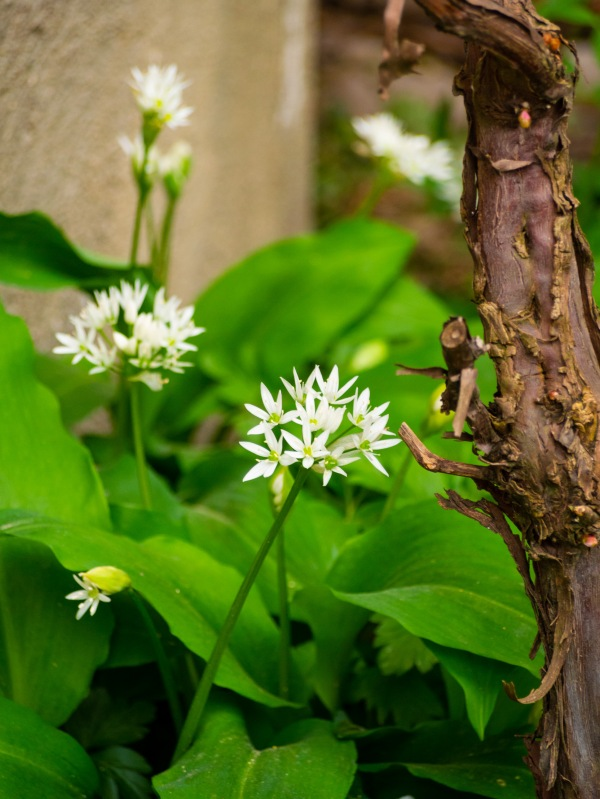 Leurda cu flori